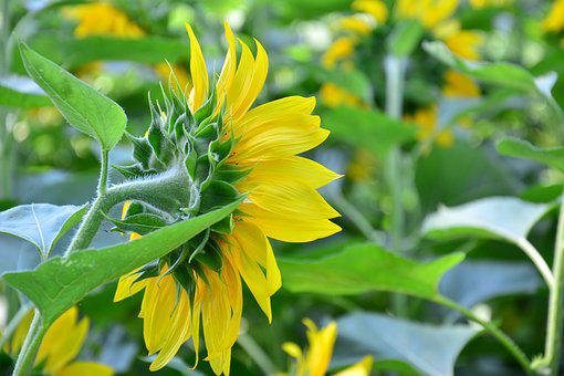 Nature, Plant, Summer, Flower, Leaf, Field, Sunflower