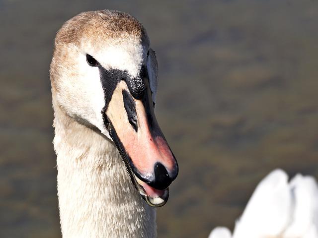 Swan, Young Animal, Bird, Animal World, Nature, Neck