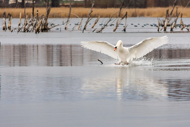 Waters, Bird, Nature, Winter, Lake, Swan, Landing