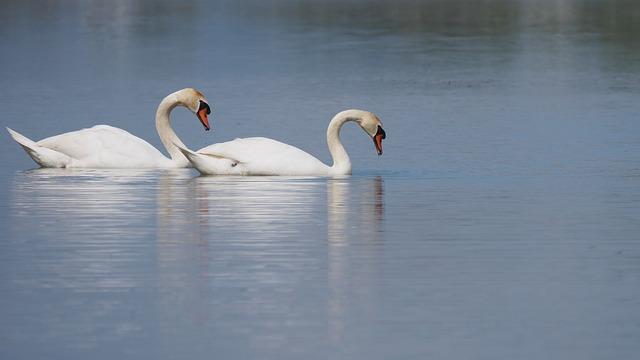 Nature, Birds, Swans, Water