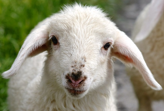 Schäfchen, Lamb, Sweet, Nature, White, Easter, Lambs