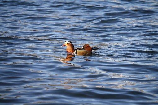Water, Bird, Wildlife, Nature, Swimming, Sea, Outdoors