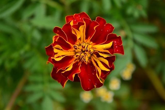 Tagete, Marigold, Blossom, Bloom, Flower, Plant, Nature