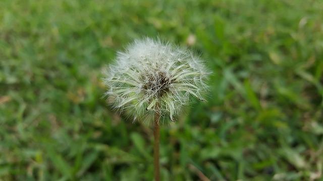 Nature, Taraxacum, Summer, Plant, Lawn, Flower, Seed