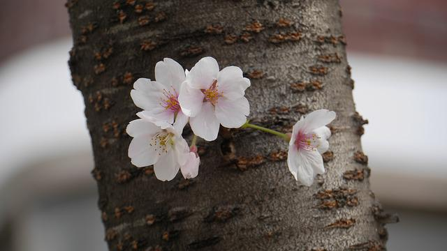 Nature, Cherry Flowers, Close, Wood, Plants, This Type