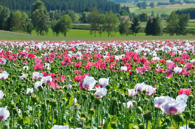 Poppy, Thriving Mohnfeld, Nature