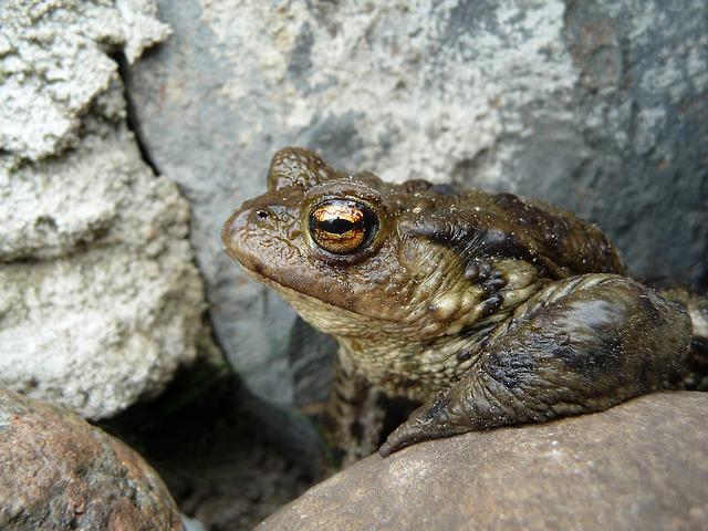 Toad, Common Toad, Bufo Bufo, Nature, Garden