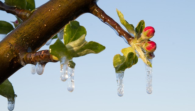 Nature, Tree, Plant, Frost Irrigation, Apple Tree