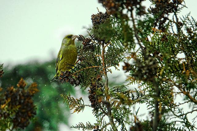 Tree, Nature, Bird, Greenfinch