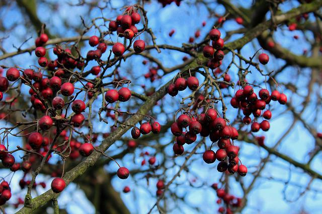 Crataegus, Hawthorn Fruit, Autumn, Tree, Red, Nature