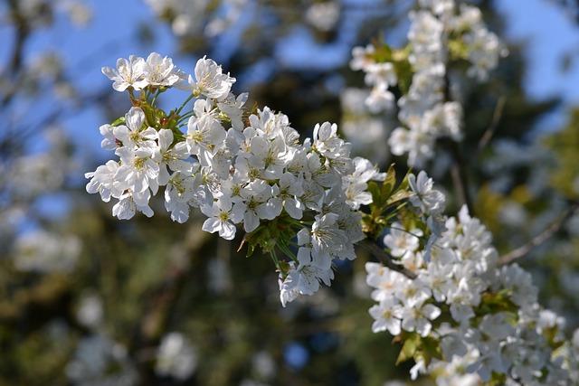 Tree, Plant, Nature, Season, Spring, Cherry Blossom