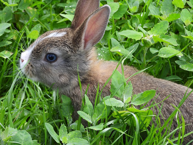 Rabbit Miniature, Mammal, Animal, Trusia, Grass, Nature