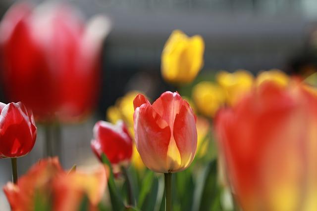 Noel Online Gift Shop, Tulip, Nature, Flowers, Plants