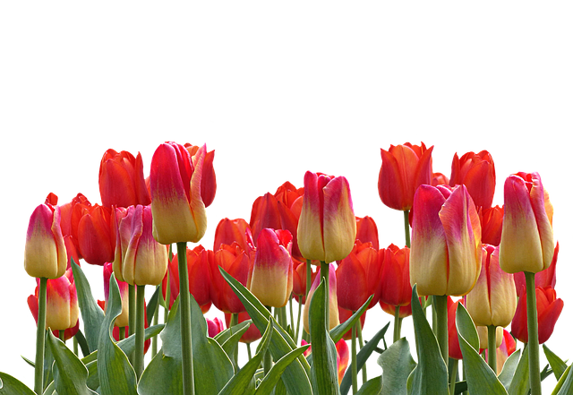Tulips, Spring, Nature, Flower, Flowers, Red