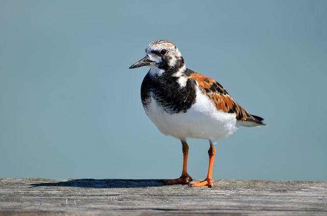 Ruddy, Turnstone, Water, Nature, Animal, Wildlife
