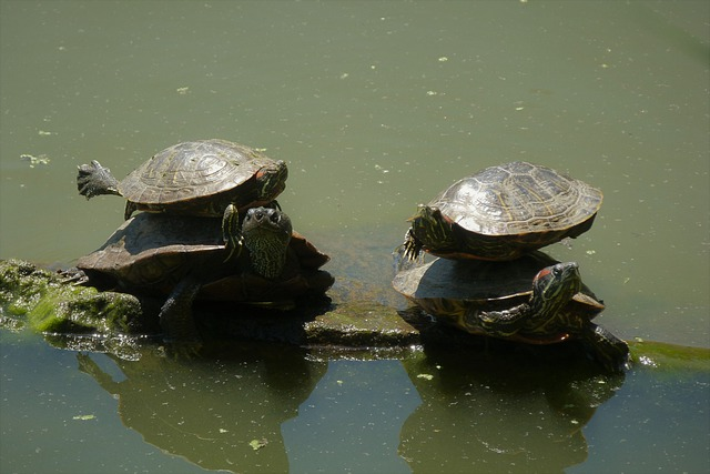 Turtles, Balance, Nature, Animal, Water, Central Park