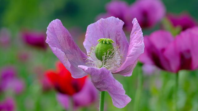 Poppy, Violet, Poppy Flower, Nature