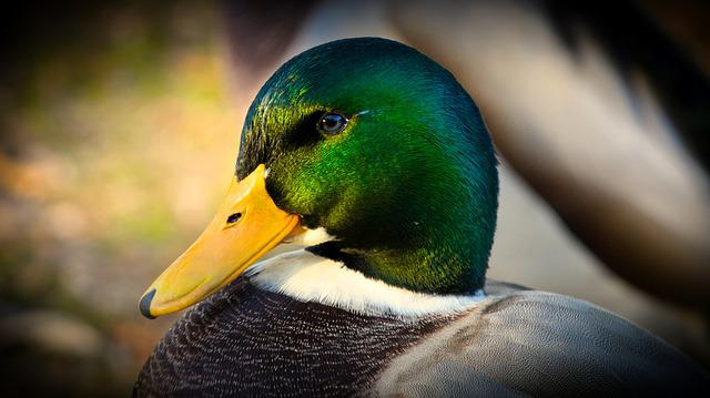 Mallard, Duck, Water Bird, Nature, Cute, Animal World