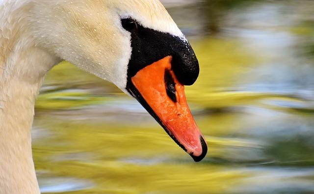 Swan, Water Bird, Nature, Animal, Schwimmvogel, Pride