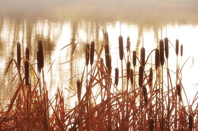 Reeds, Cattails, Plant, Grass, Nature, Water, Pond