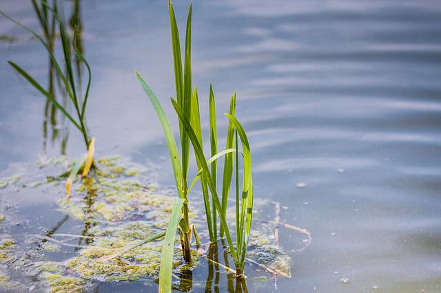 Water, Lake, Lagoon, Pond, Landscape, Nature, Rushes