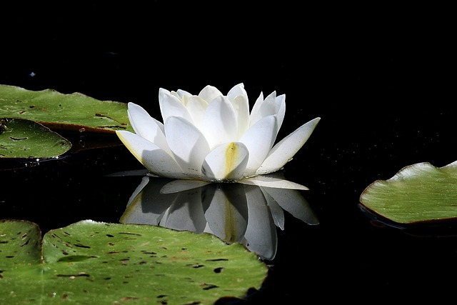 Water Lily, Flower, Figure, Spring, Lake, Nature