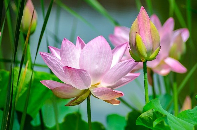 Water Lily, Flower, Nature, Plant, Spring, Summer