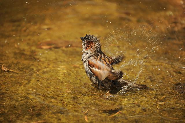 Sparrow, Sperling, Wet, Water, Bathing, Nature