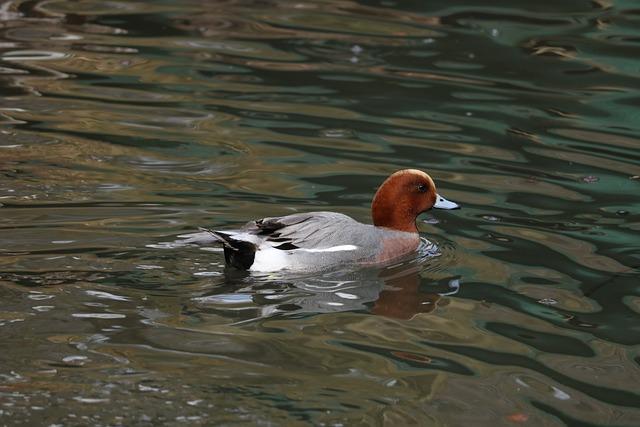 Waters, Bird, Puddle, Animal World, Lake, Duck, Nature