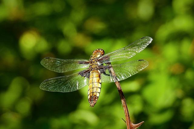 Ważka, Insect, Nature