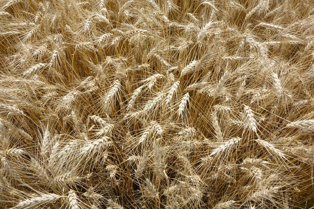 Nature, Straw, Wheat, Crop, Farm, Bread, Cereal