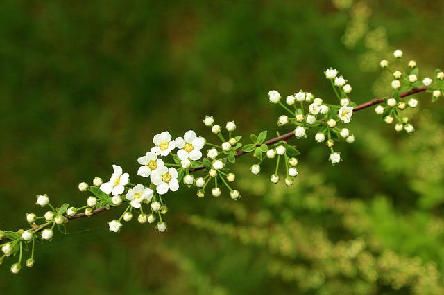 Tawuła, Ornamental Shrub, Spring, White Flowers, Nature