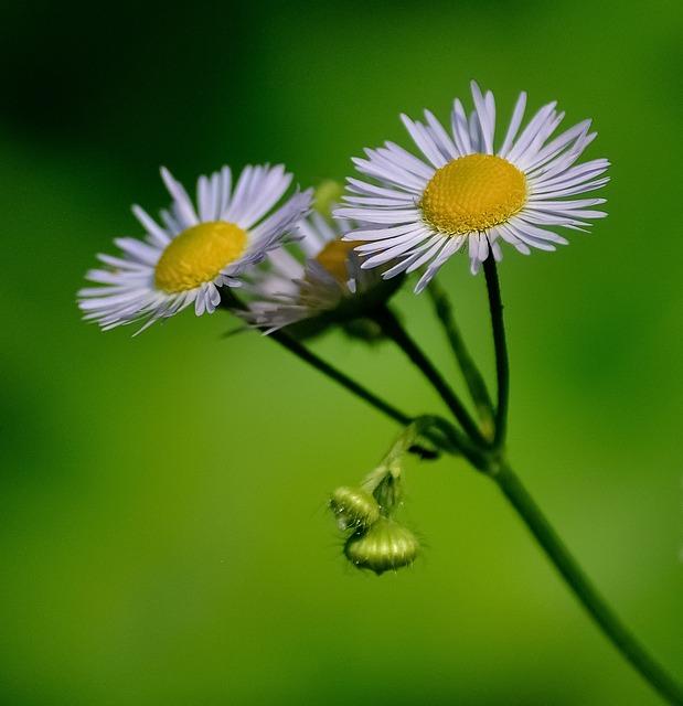 Daisies, Flower, White, Yellow, Green, Nature, Plant