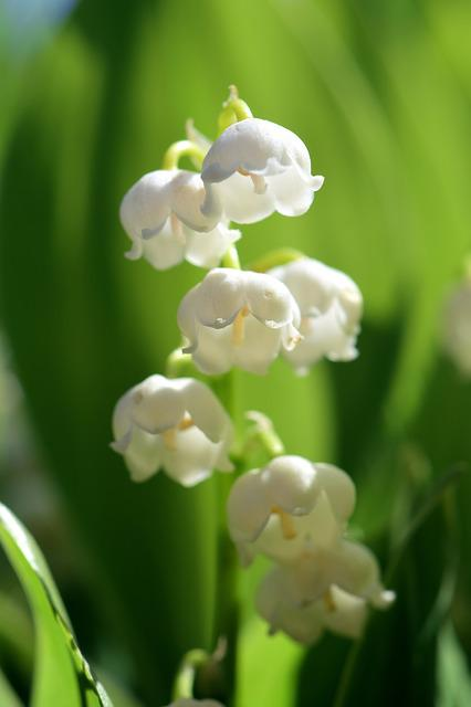 Lily Of The Valley, Flower, Spring, White, Nature