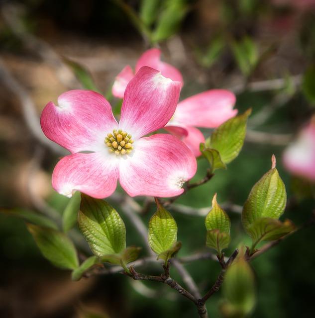 Flower, Dogwood, Blossom, Nature, Tree, Plant, White