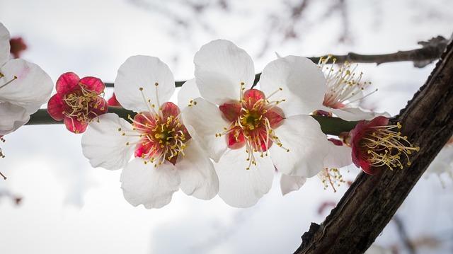 Cherry Blossom, Flowers, Nature, Plants, White, Wood