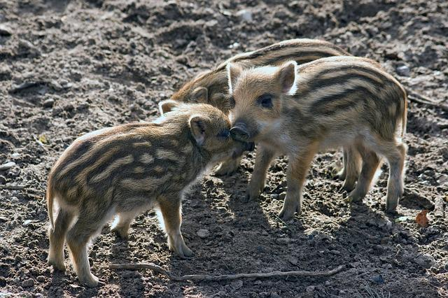 Wild, Wild Boars, Forest, Nature, Little Pig