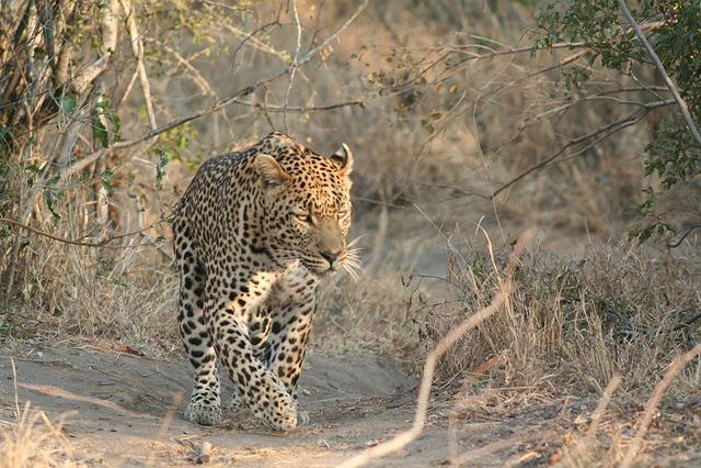 Mammal, Animal, Leopard, Nature, Wild, Wildlife, Africa