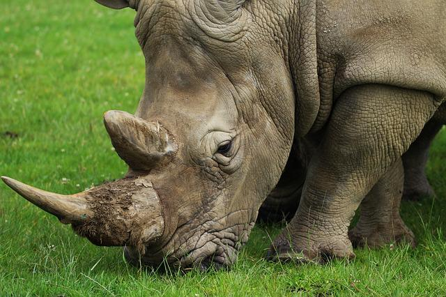 Rhino, Horn, Nature, Rhinoceros, Wild, Animal, Wildlife