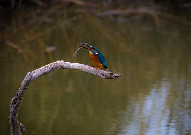 Bird, Nature, Wild World, Kingfisher