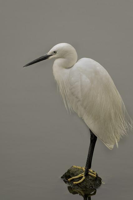 Bird, Wildlife, Feather, Animal, Nature, Egret, Wing