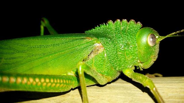 Large, Green, Grasshopper, Closeup, Nature, Wildlife