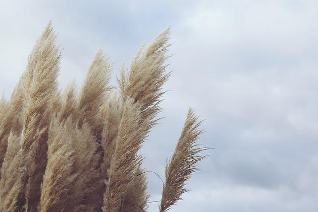 Reed, Plant, Wind, Nature, Dry, Windy, Clouds, Sky