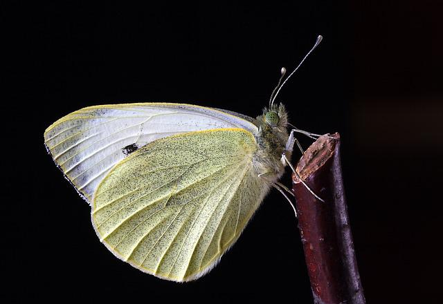 Butterfly, Close, Mac, Insect, Nature, Wing, Antennae