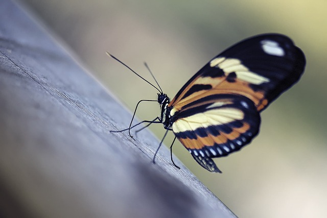 Insect, Butterfly, Nature, Wing