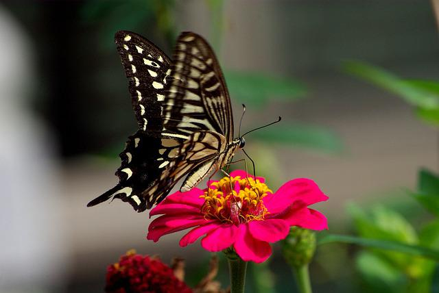 Nature, Butterfly, Insects, Flowers, Outdoors, Wing