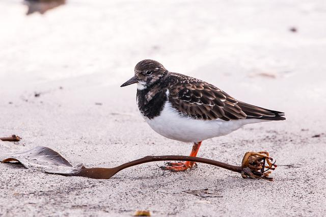 Sandpiper, Helgoland, Nature, Winter, Animal World