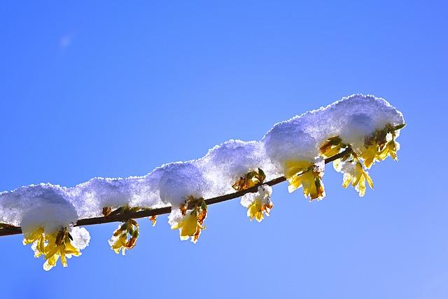 Spring, Nature, Forsythia, Winter Blast, Snow, Cold