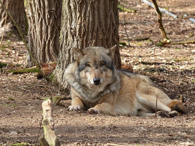 Wolf, Animal, Nature, Predator, Wildlife Park