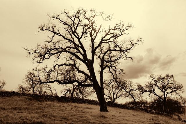Tree, Oak, Oak Tree, Sepia, Western, Nature, Wood